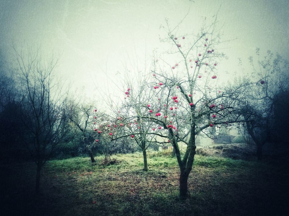 foggy dramatic morning Apple Tree Apples Autumn Autumn Colors Bare Tree Beauty In Nature Cold Cold Days Day Dramatic Foggy Grass Nature No People Outdoors Plant Red Sky Tree Vignette