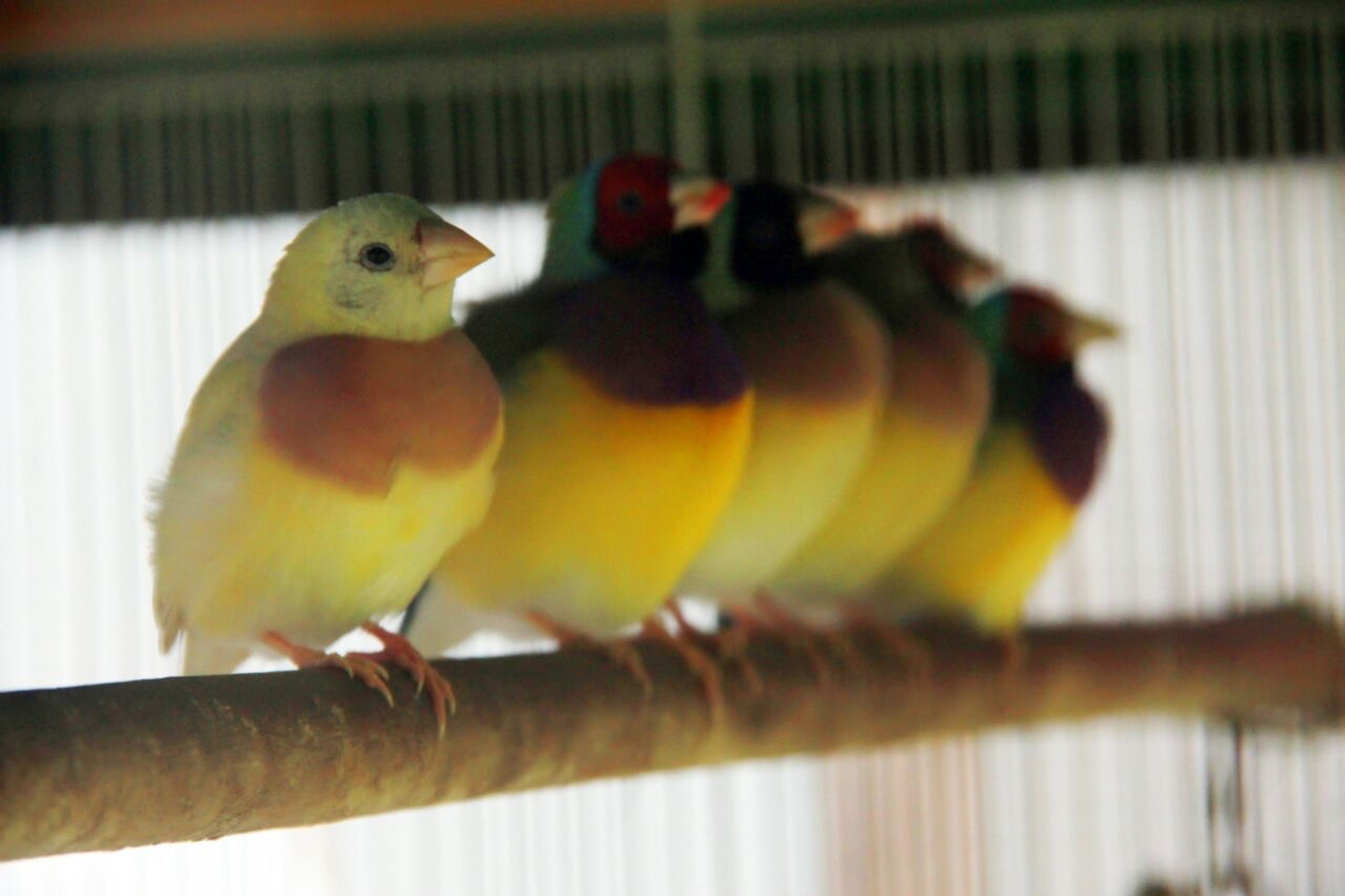 animal themes, bird, yellow, selective focus, one animal, close-up, perching, parrot, indoors, cage, vibrant color, front view, pets, beak, zoology, focus on foreground, multi colored, colorful, no people, domestic animals