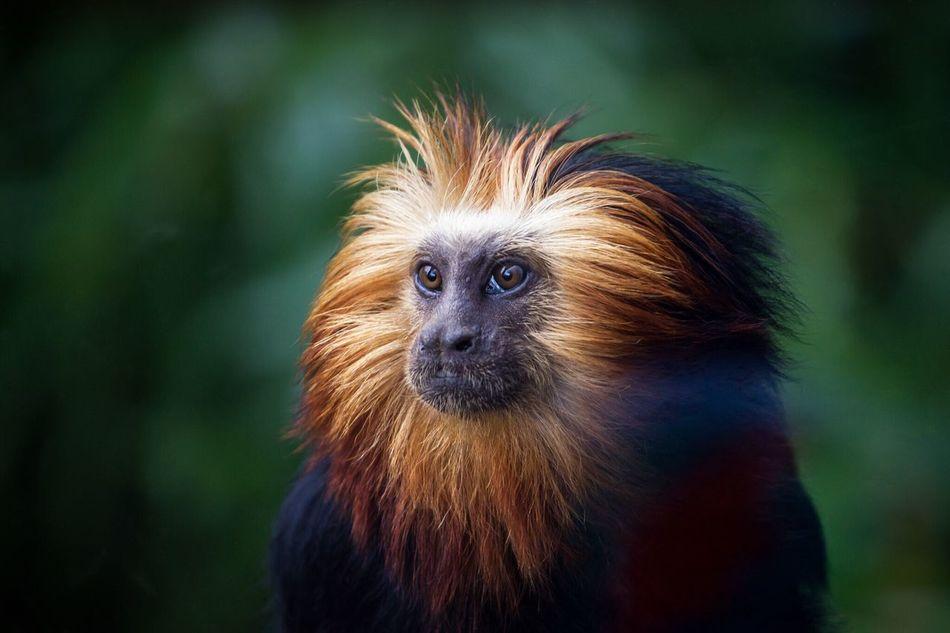 Tamarind Monkey Zoo Nature Animal