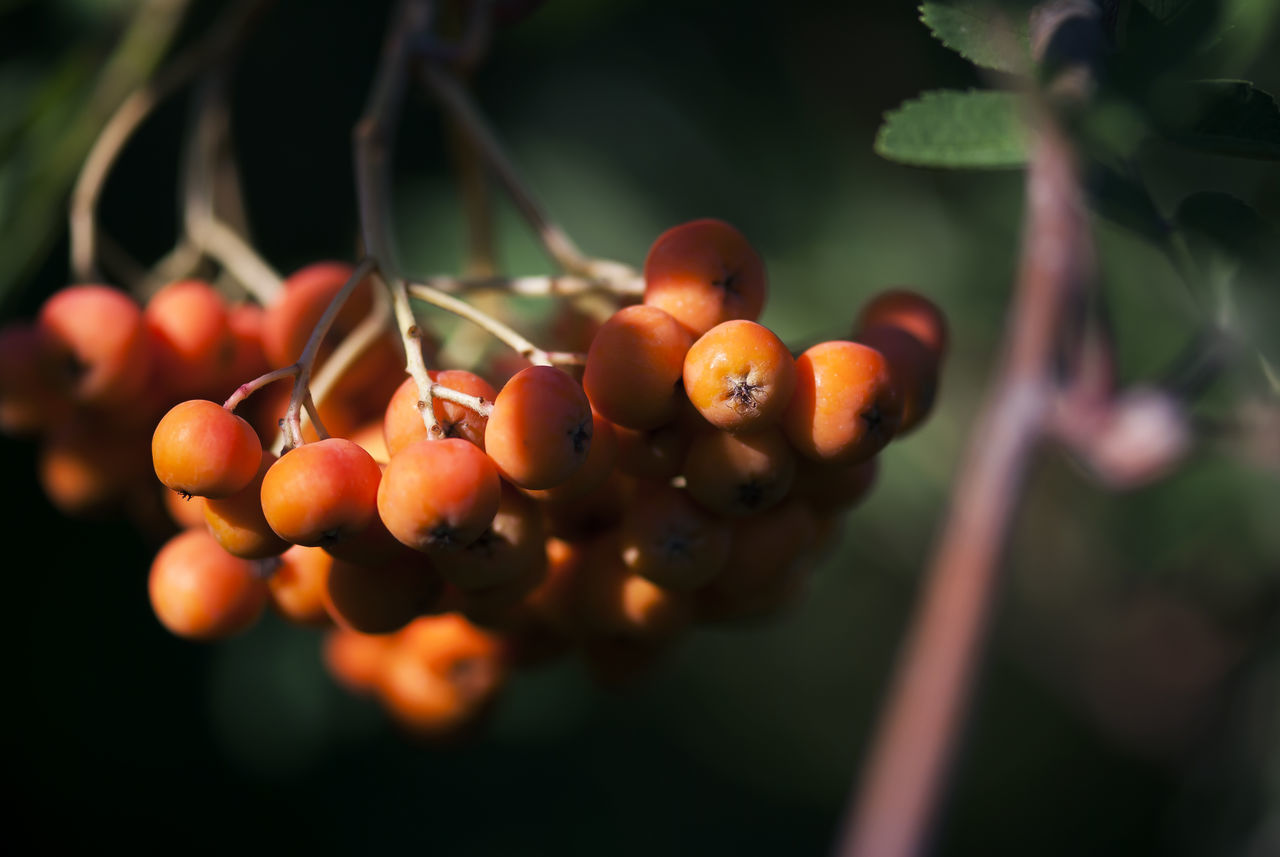 Orange berries hang onto their branch in late summer. Autumn Berries Berry Botanical Branch Bright Color Detail Fall Flora Fruit Garden Hawthorn Light Nature Orange Outdoors Plant Ripe Seasonal Seasons Shadow Summer Tree Trees