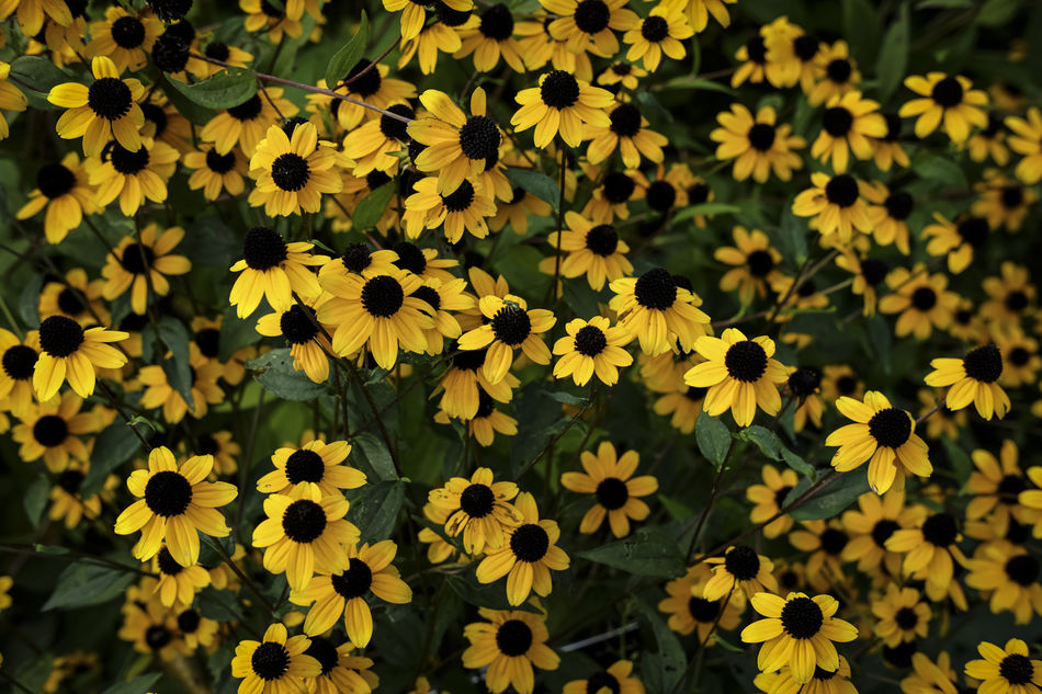 Autumn Backgrounds Beauty In Nature Black-eyed Susan Blossom Close-up Day Detail Flower Flower Head Focus On Foreground Fragility Freshness Fujifilm FUJIFILM X-T1 Growth Nature No People Outdoors Petal Plant Scenics Tranquility Yellow Yellow Color