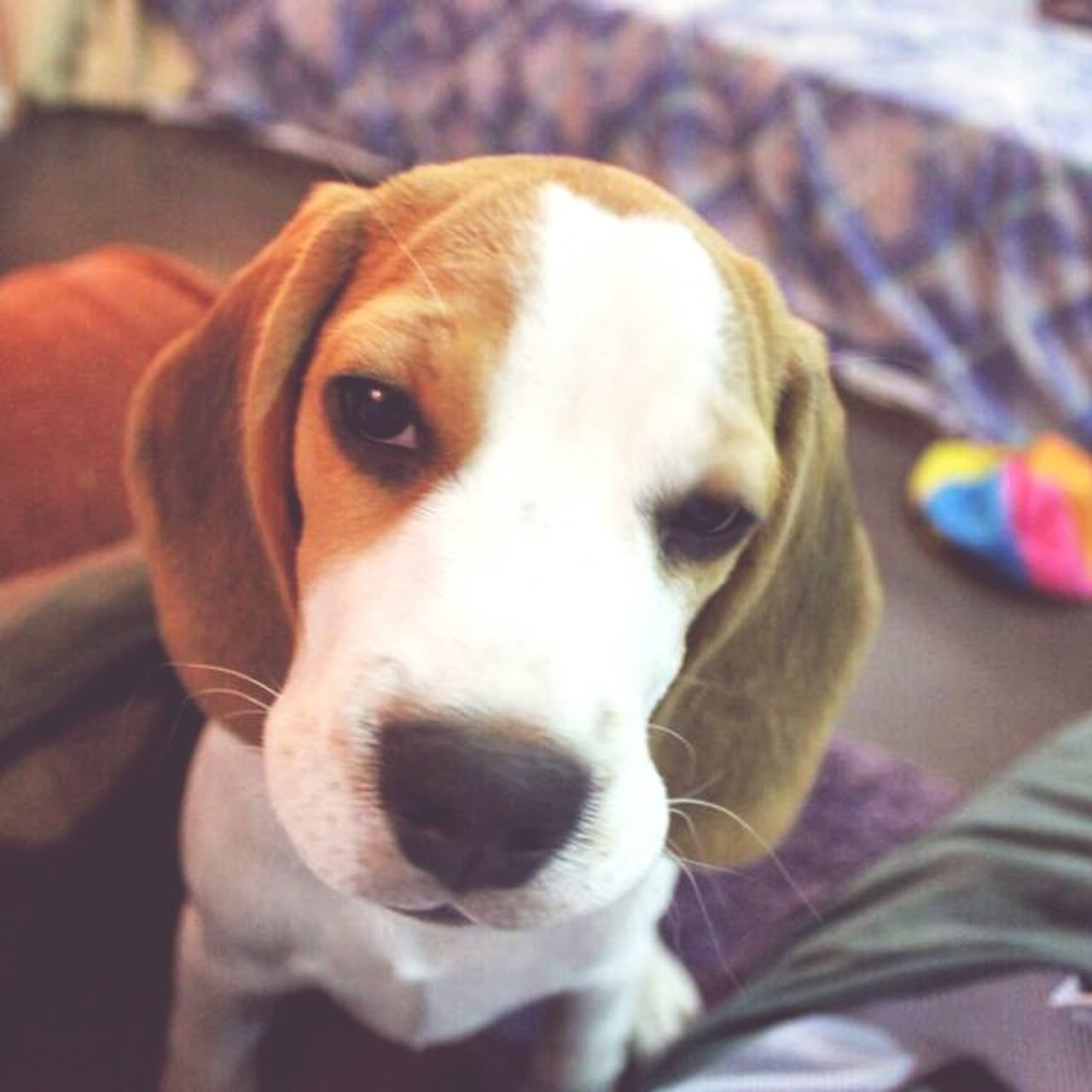 Sleepyhead 😘Animal Themes Domestic Animals One Animal Pets Dog Close-up Mammal Portrait Animal Head  Looking At Camera Zoology Focus On Foreground Snout Animal Animal Nose Loyalty No People Beaglelove Dogs