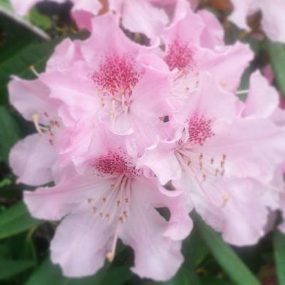 PrettyInPink Pink Flowers Nature Beauty Kingsheathpark Springwalk Spring Spring2014