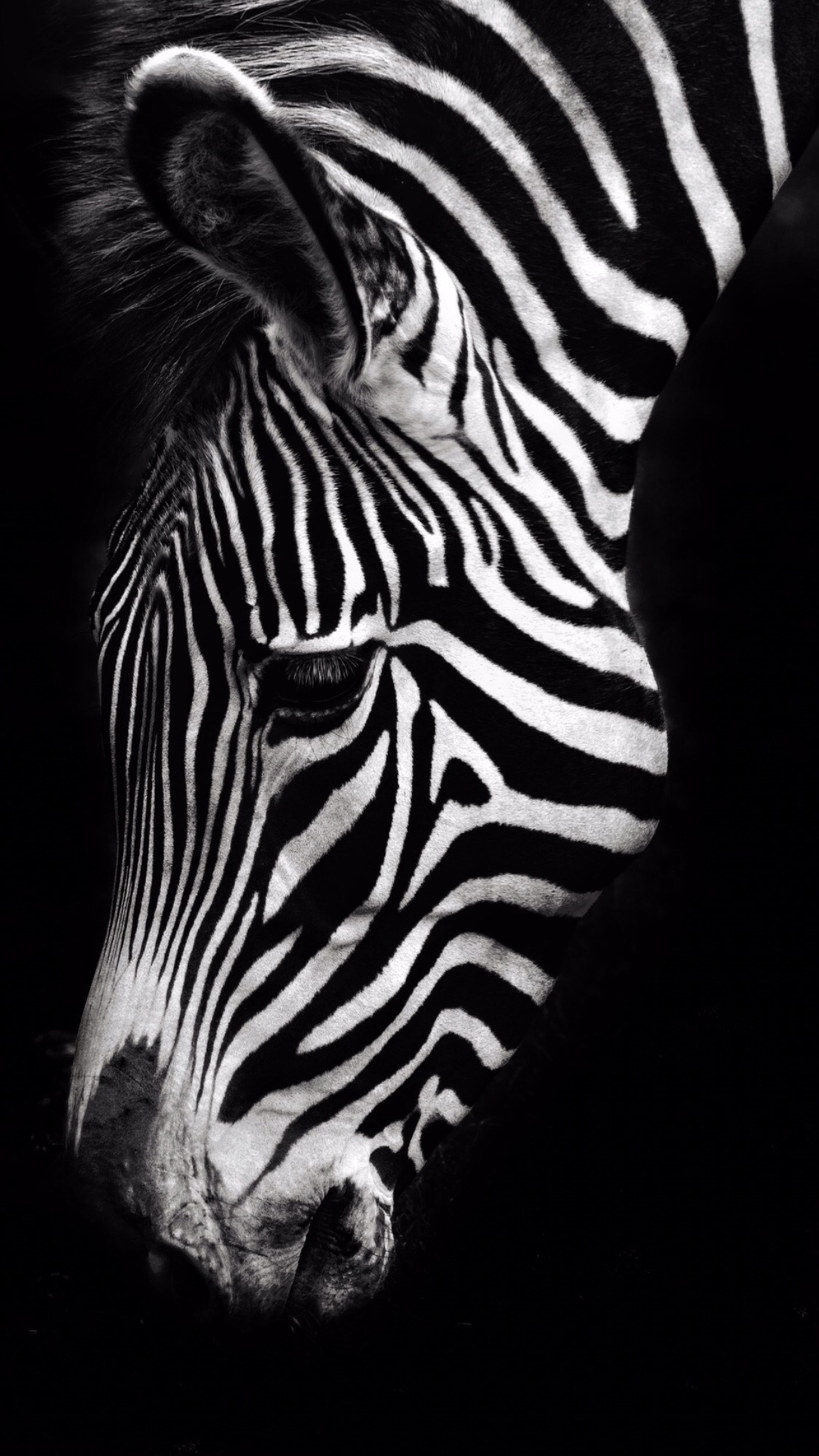 zebra, striped, one animal, animals in the wild, nature, animal head, mammal, beauty in nature, day, zoology, outdoors, no people
