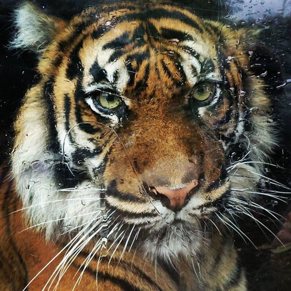 Tiger Sobig Beautyful  Eyes Danger Zoo Arnhem Winterday Killingmachine