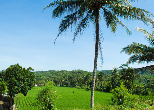 My hometown. Tree Palm Tree Growth Tranquil Scene Tranquility Scenics Clear Sky Landscape Nature Green Color Beauty In Nature Green Outdoors Cultivated Land Day Village Rice Field Landscapes