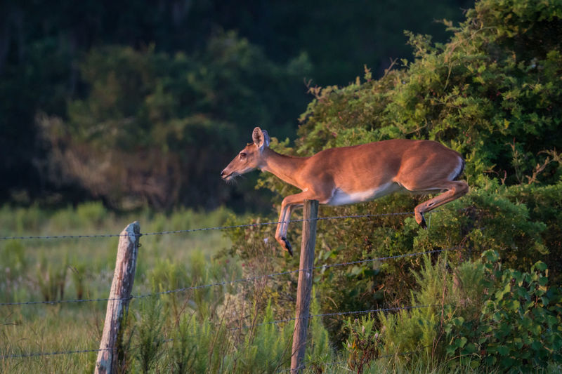 Florida White Tailed Deer jumping barbed wire fence. Barbed Wire Effortless Animal Wildlife Deer Effortless Looking But So Much Strength, Balance$ Concentration Is Required When Doing Lifts Fence Florida Jumping Leaping One Animal Outdoors White Tailed Deer