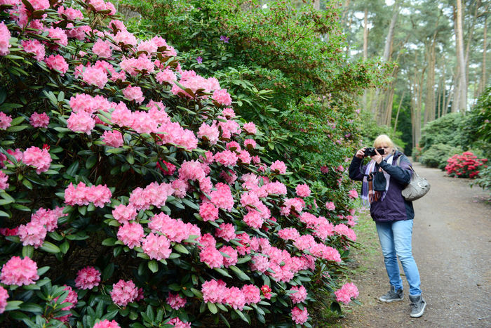 Rhododendron blossom in Gristede park at Springtime (Germany, Schleswig-Holstein) Adult Adults Only Blossom Blossoms  Day Flower Germany Gristede Growth Nature One Person Outdoors Park Park - Man Made Space People Plant Rhododendron Rhododendron Blossoms Rhododendron Buds Rhododendronblossoms Rhododendroninbloom Rhododendrons Schleswig-Holstein Springtime Woman