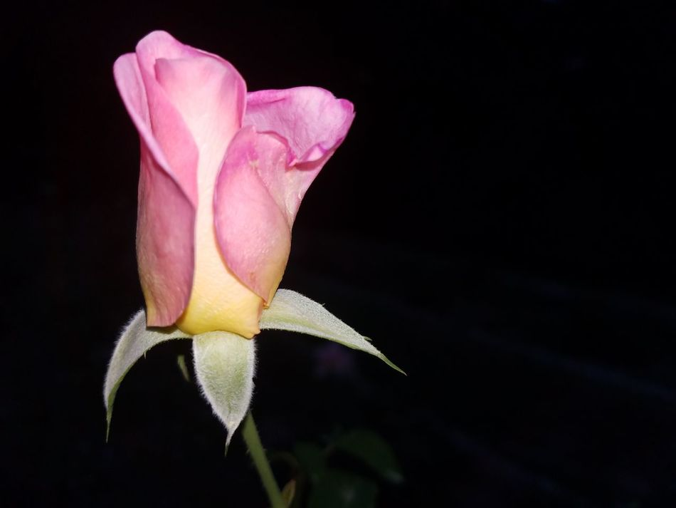 Beatiful roses Hanging Out Check This Out Hello World Nature_collection Enjoying Life Roses Check This Out Love The Colors Lifes Good