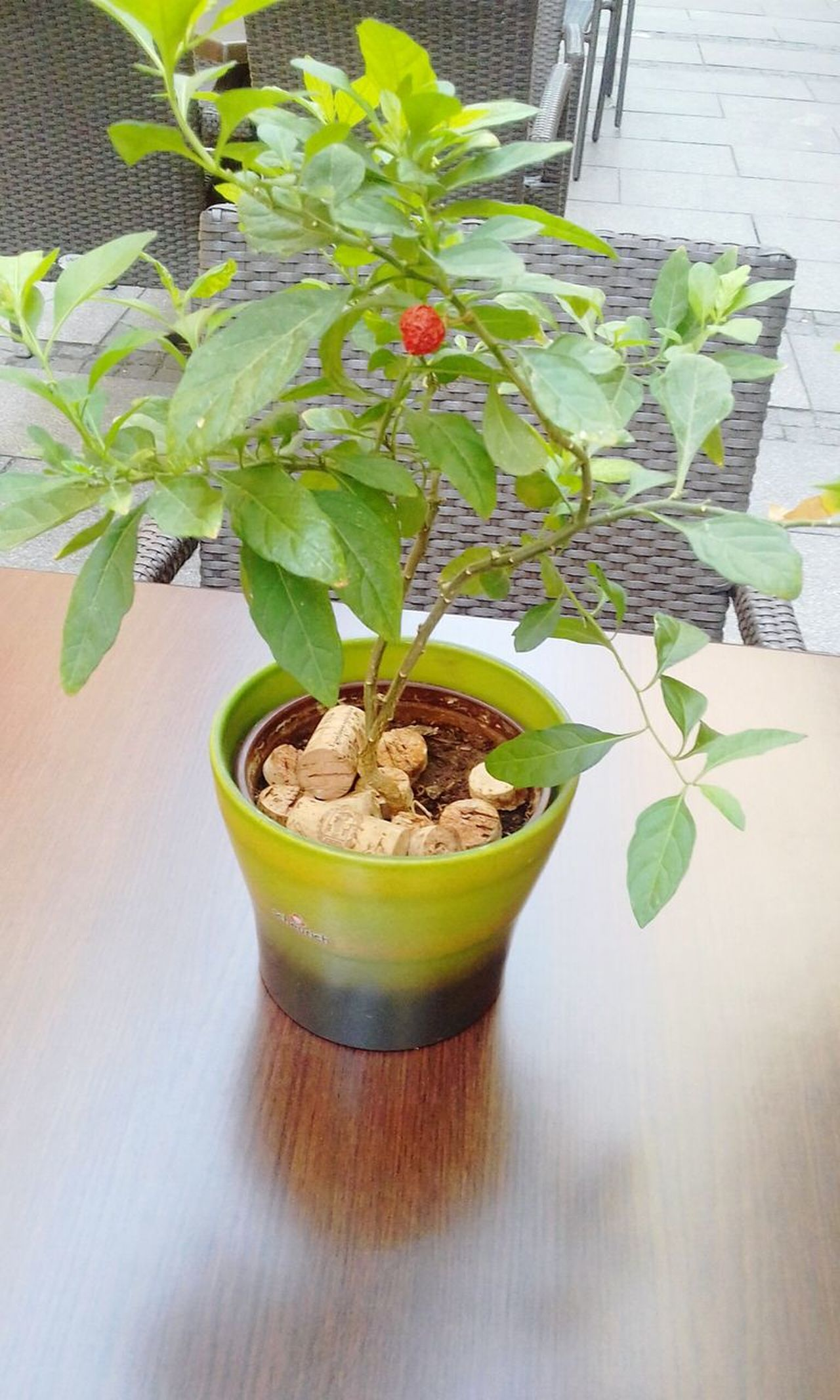Plant Growth Potted Plant Leaf Nature Indoors  No People Table Green Color Freshness Flower Day Close-up Fragility bonsai Plant On The Table cafe table Beautiful Nature Beautiful Plant Plant And Flowers Plant And Stone Green Color