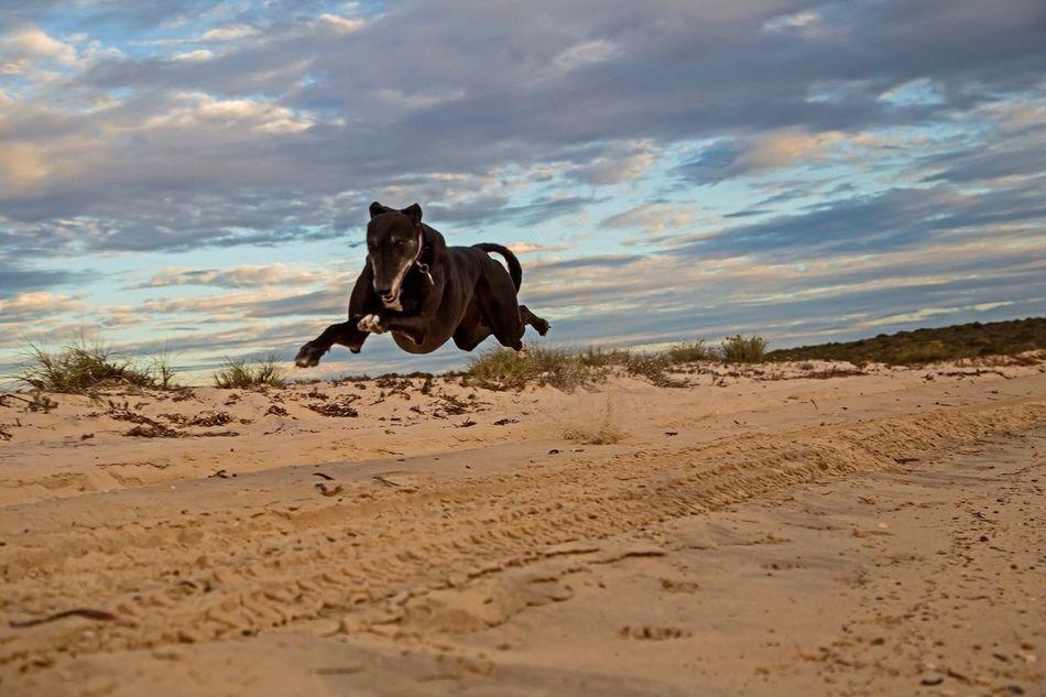 Greyhound Pet Dog Australia