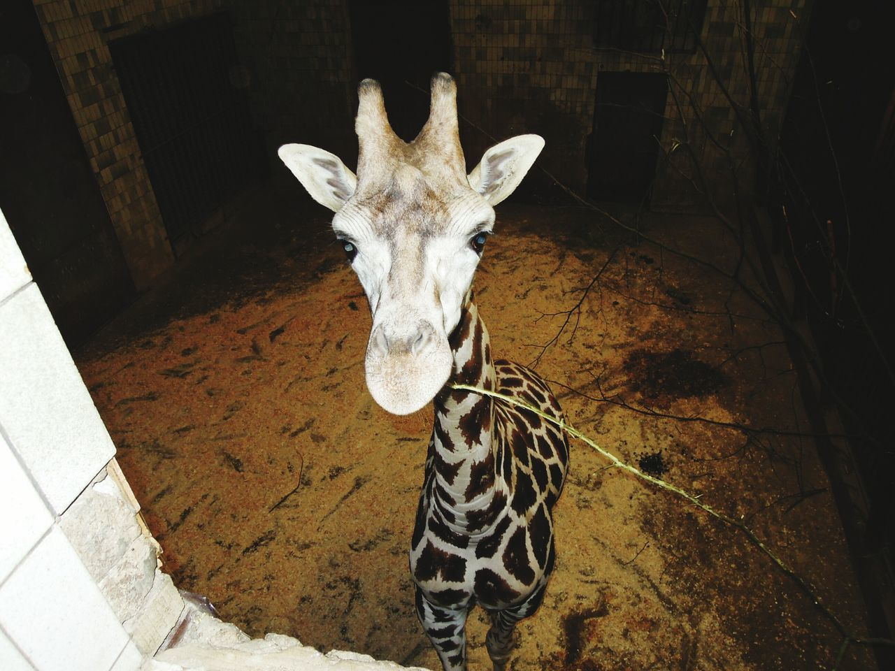 Looking At Camera Mammal One Animal Animal Themes Portrait Outdoors No People Day Zoo Animals  Czech Republic🇨🇿 Giraffe♥