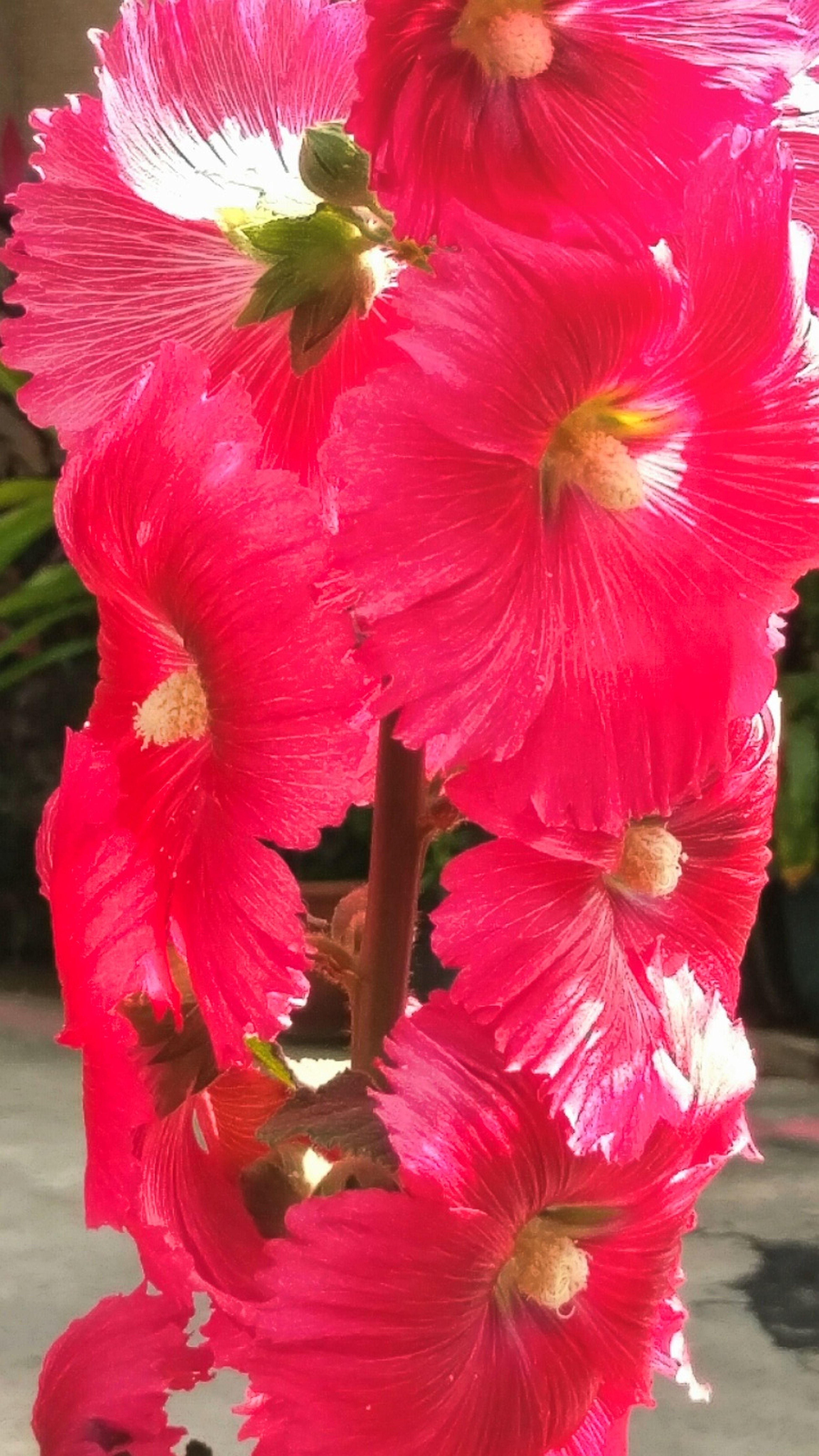 Flower 蜀葵花盛開的季節