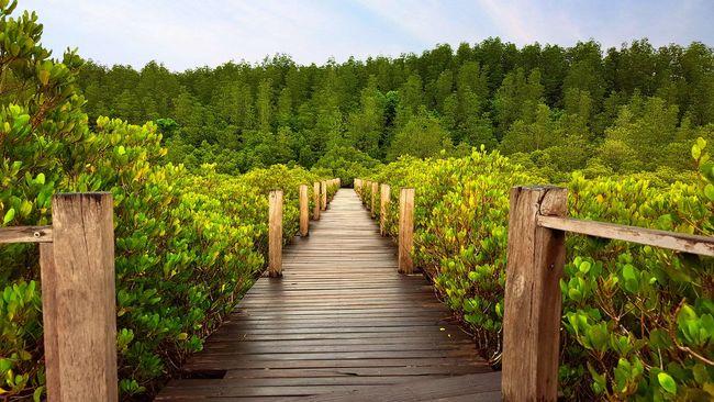 The Way Forward Tree Green Color Footbridge Plant Nature Walkway Green Mangroves Mangrove Forest