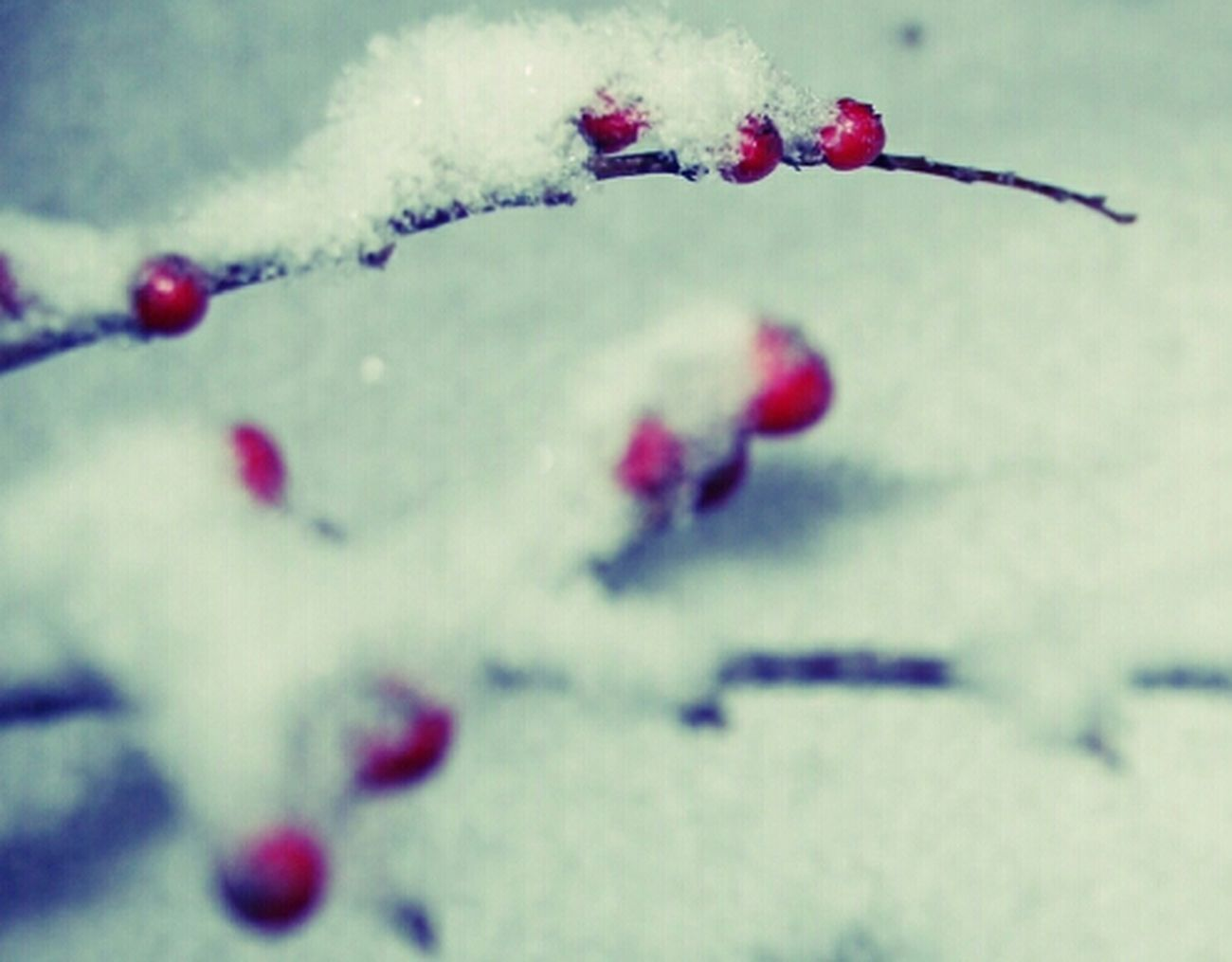 Berries Winter Snow Walk In The Snow