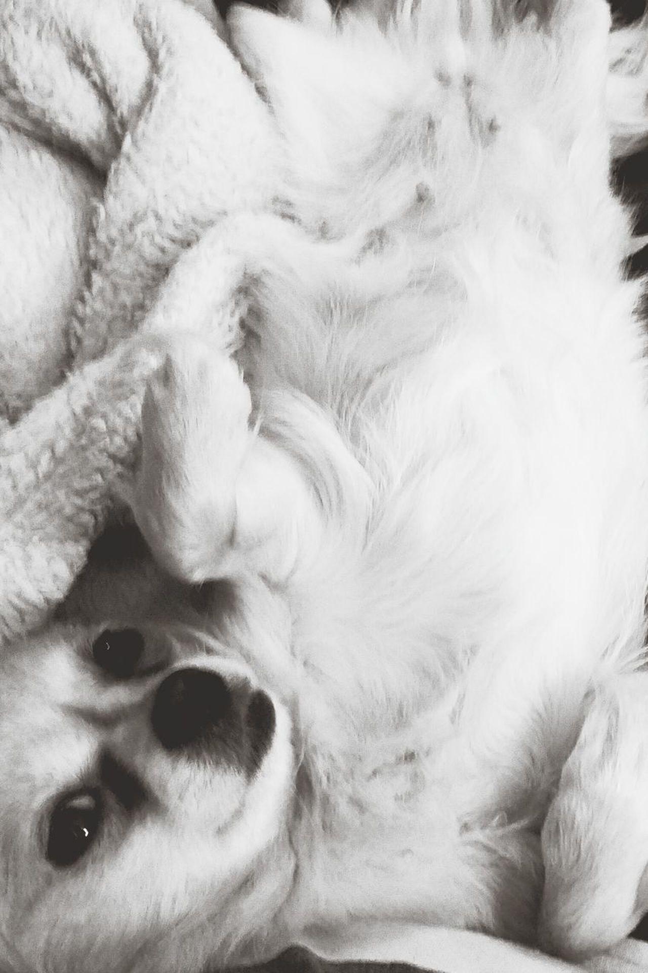 Pets Domestic Animals One Animal Dog Animal Themes Black And White Pomeranian Mix Chihuahua Mix
