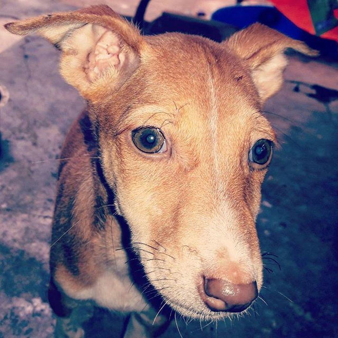 Asli 😍😍😍 Petlove  Doggie Sweety  Dogs Pets Babydog DogLove Bluecross Peta Indian Countrydog