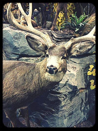 Mr. deer Snohomish County Washington State Iphotography watching the holiday shoppers LOL