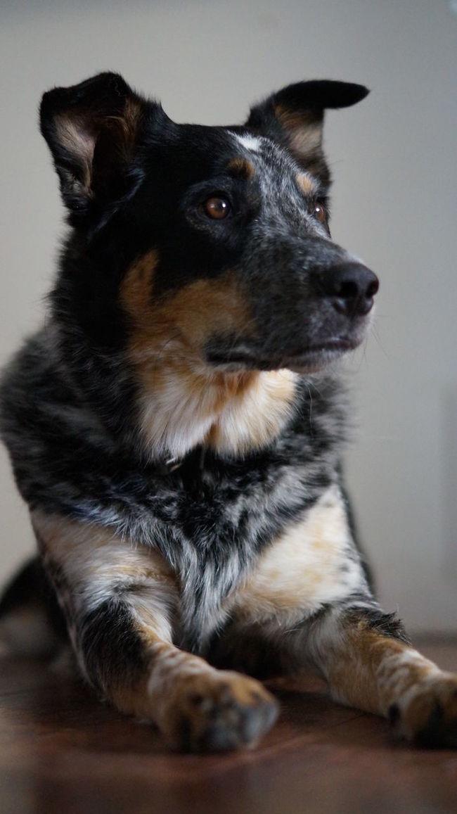 Animal Head  Animal Themes Blue Heeler Cattle Dog Domestic Animals Loyalty Pets Posing Dog