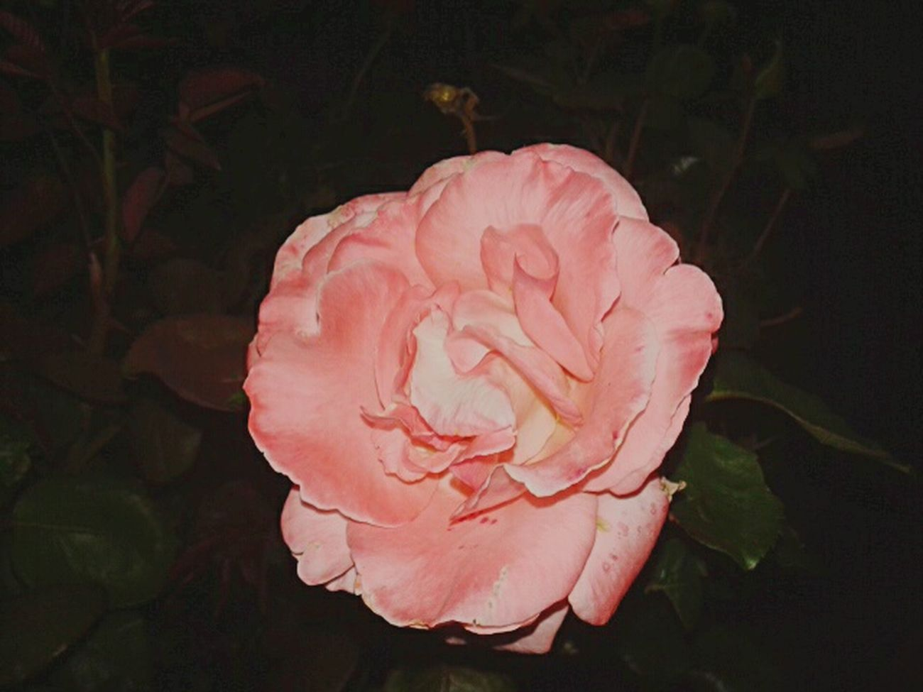 Rosas🌹🌹 Petal Flower Pink Color Rose - Flower Close-up Freshness Fragility No People Nature Rose Petals Black Background Beauty In Nature Flower Head Outdoors Day