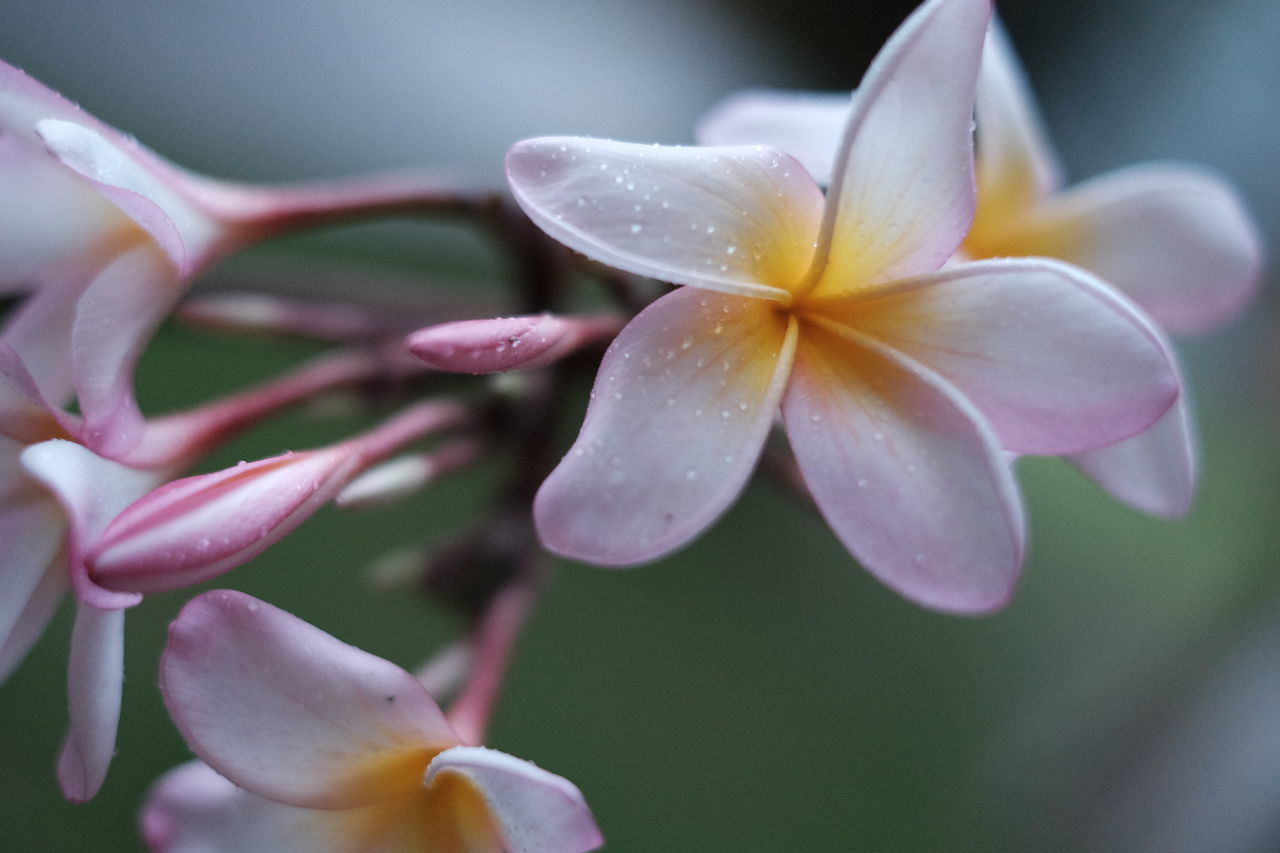 Beauty In Nature Blooming Close-up Day Flower Flower Head Fragility Frangipani Freshness Fujifilm FUJIFILM X-T10 Fujifilm_xseries Growth Nature No People Outdoors Petal Plant Spring Spring Flowers Springtime
