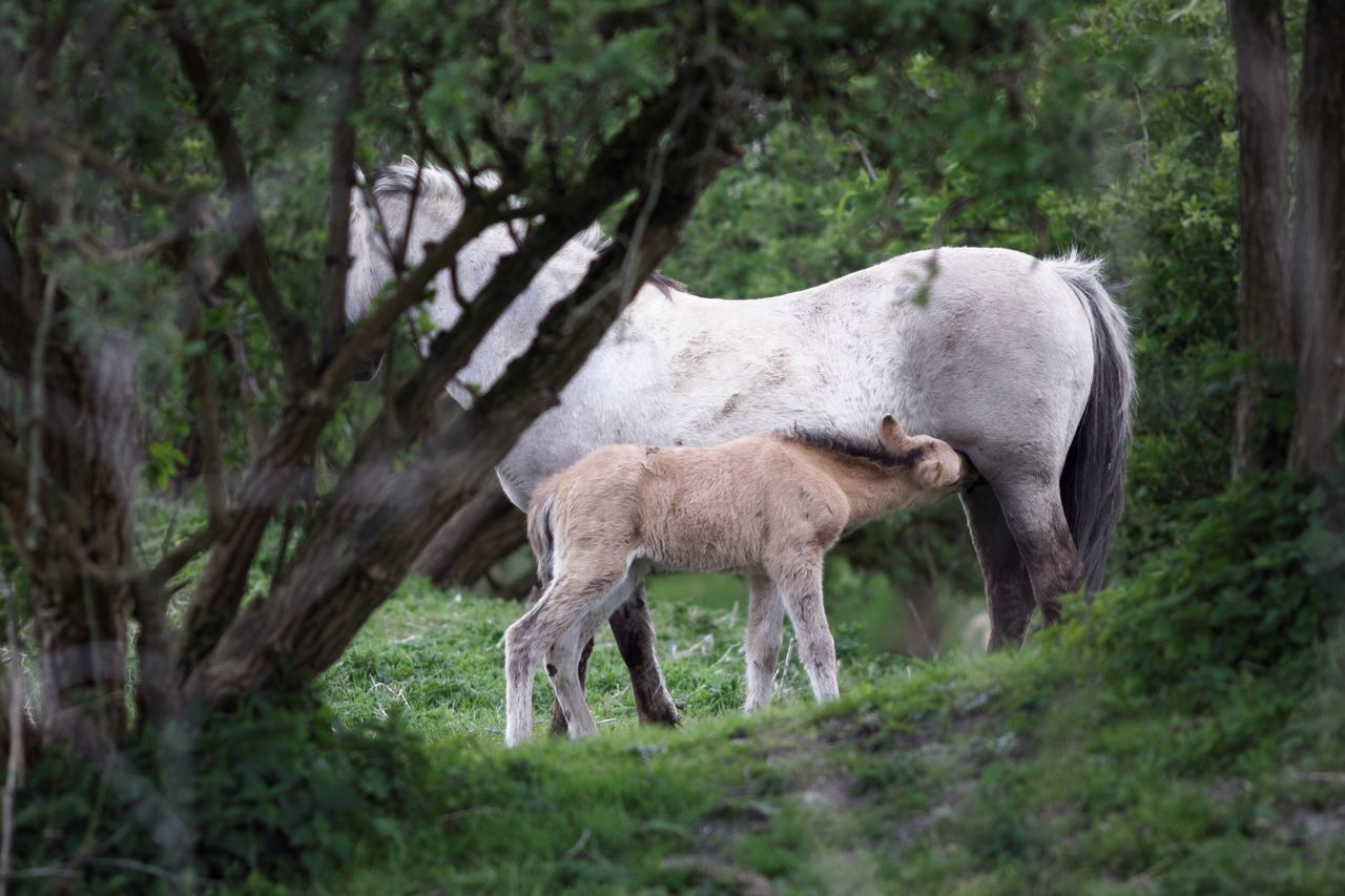 Newly Born Konik Horse Animals In The Wild Animal Themes Mammal Livestock Standing Tree Domestic Animals No People Nature Field Grass Outdoors One Animal Day Beauty In Nature