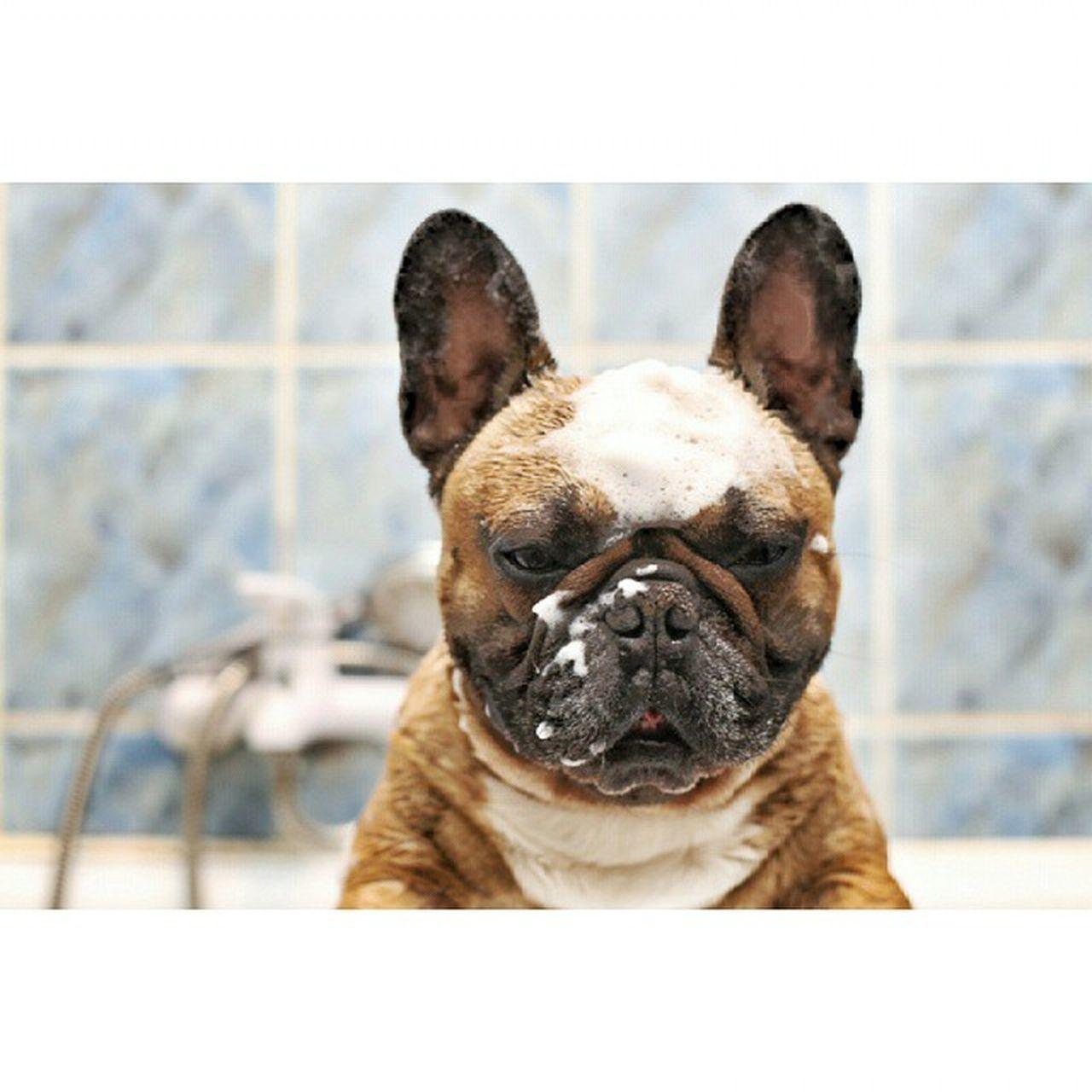 Cleanfur Gonzothunder Gtcompany Frenchzone Frenchbulldog Crazyfrenchie Gonzothunder Bongo Frenchzone Frenchie Frenchbulldog Bulldogsareawesome Frozenframe Crazyfrenchielovers Frenchbulldoglove Instadog Piesel