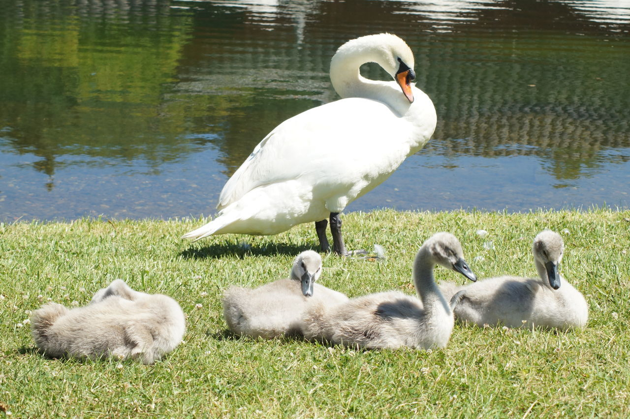 beautiful swan family Animal Wildlife Animals Babyswan Beautiful Bird Birds Chick Chicken Cute Family Funny Grooming Kitten Lovely Lying Down Park Soft Spring Summer Swan Swan Family Swans Sweet Swimming Young