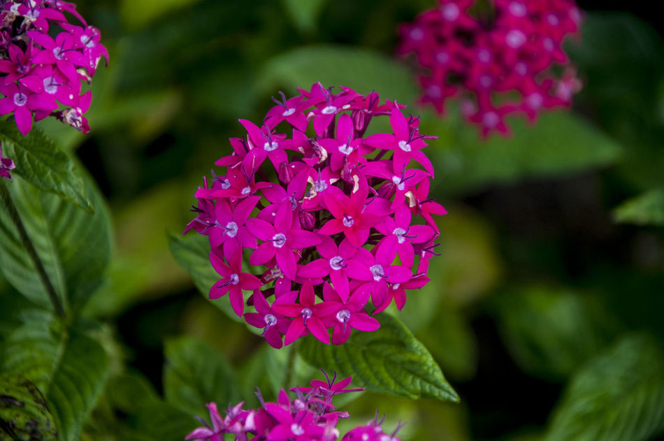 Beauty In Nature Blooming Flower Flower Head Freshness Ixora Nature Nature Photography Petal Philippines Pink Flower Plant Purple Santan