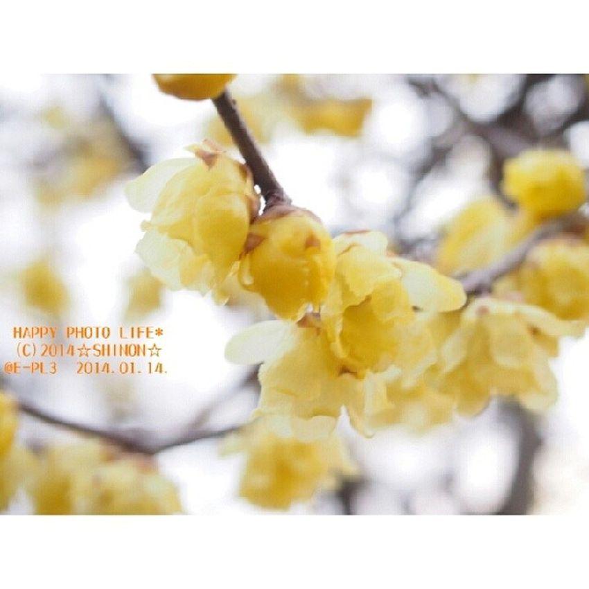 曇り空に咲く実家の蝋梅 大きい木の枝に満開でした * 満月蝋梅 花 Yellow 蝋梅 実家 オリンパス OLYMPUS PEN_E_PL3 my_pic photograph flower