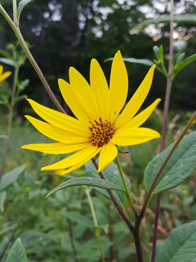 Goodmorning 🌞 😊 Nature Parks Yellow Flower Yellowbeauty Peekaboo
