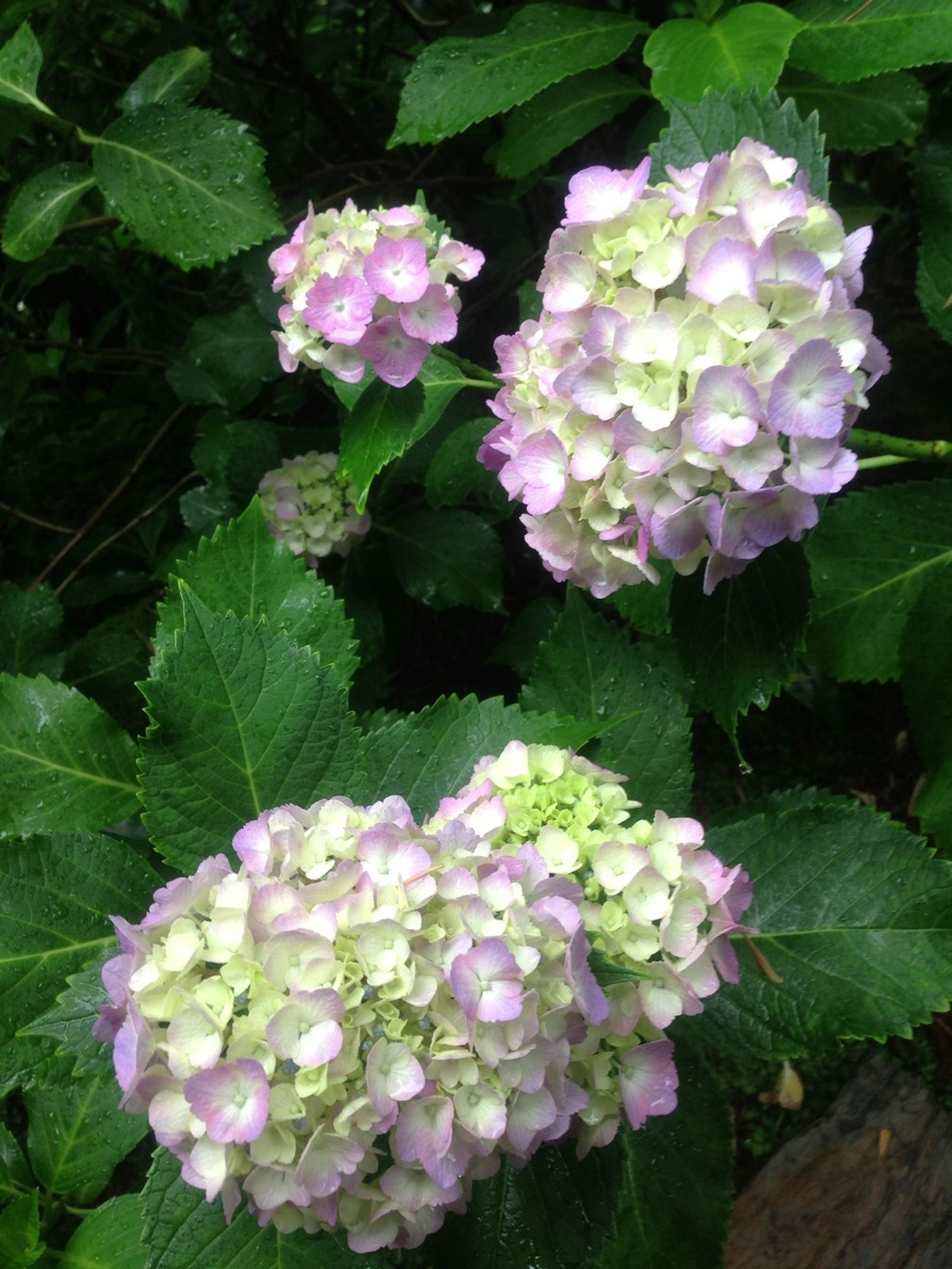 flower, freshness, fragility, petal, growth, beauty in nature, flower head, leaf, blooming, nature, pink color, plant, high angle view, in bloom, green color, blossom, close-up, hydrangea, park - man made space, outdoors