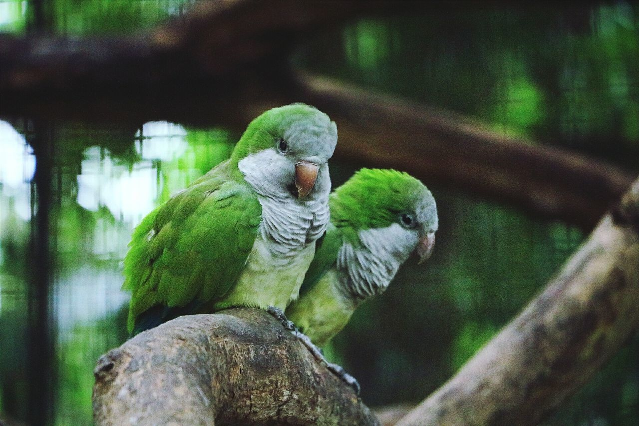 bird, animal themes, focus on foreground, perching, animals in the wild, nature, parrot, animal wildlife, tree, day, no people, outdoors, close-up, branch, beauty in nature