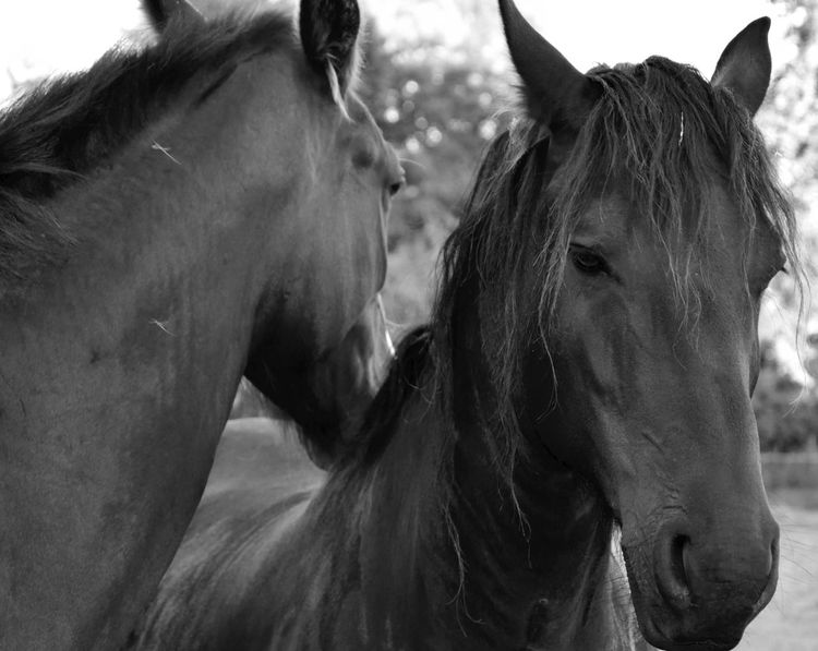 Horses Animals B&w Blackandwhite Black And White Nature Spring Exceptional Photographs Capture The Moment From My Point Of View Taking Photos EyeEm Best Shots EyeEm Best Pics Minimalism EyeEm Gallery Hello World Het Bildt Friesian Horse Friesland Pet Portraits