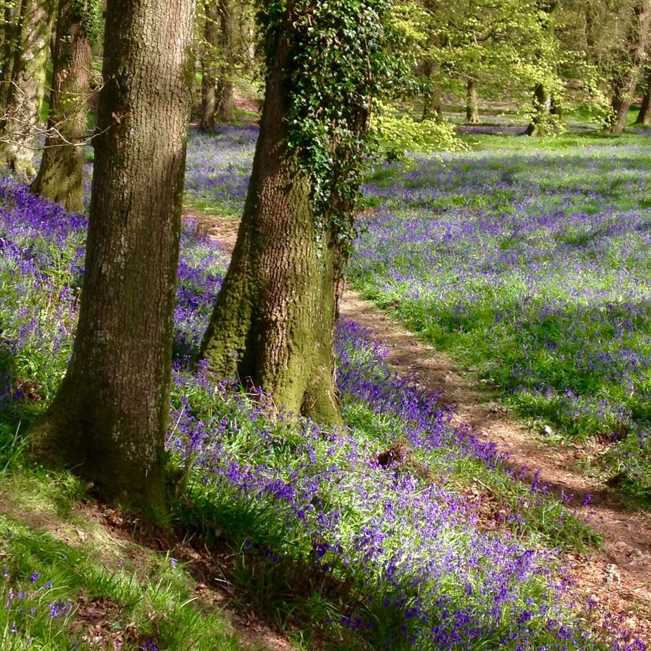 Beauty In Nature Blackberry Camp Blackberry Castle Bluebell Wood Bluebells Day Flower Freshness Growth Hill Fort Iron Age Hill Fort Nature Outdoors Plant Shadow Spring Springtime Springtime Flowers Sunlight Tree WoodLand