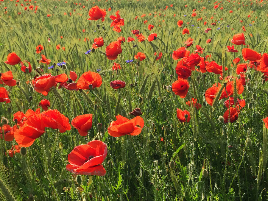 Beauty In Nature Blooming Day Delicate Field Flora Flower Freshness Grass Growth Meadow Nature No People Outdoors Plant Poppy Red Spring Summer Tranquility Uncultivated Vegetation