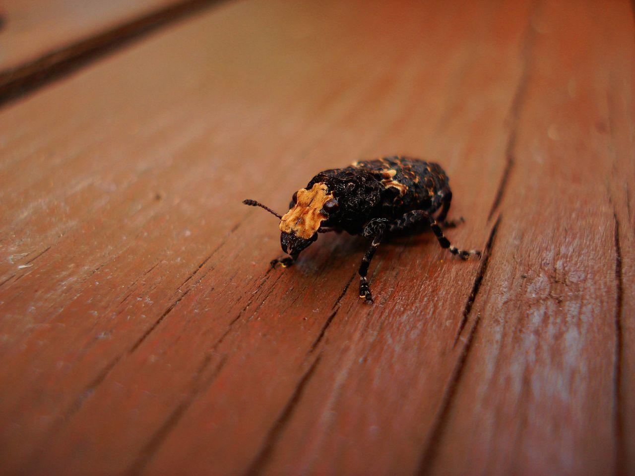 Portrait Insects  Extraterrestrial  Macro Bug Anthribidae Fungus Weevil Platyrhinus Resinosus Scarce Fungus Weevil