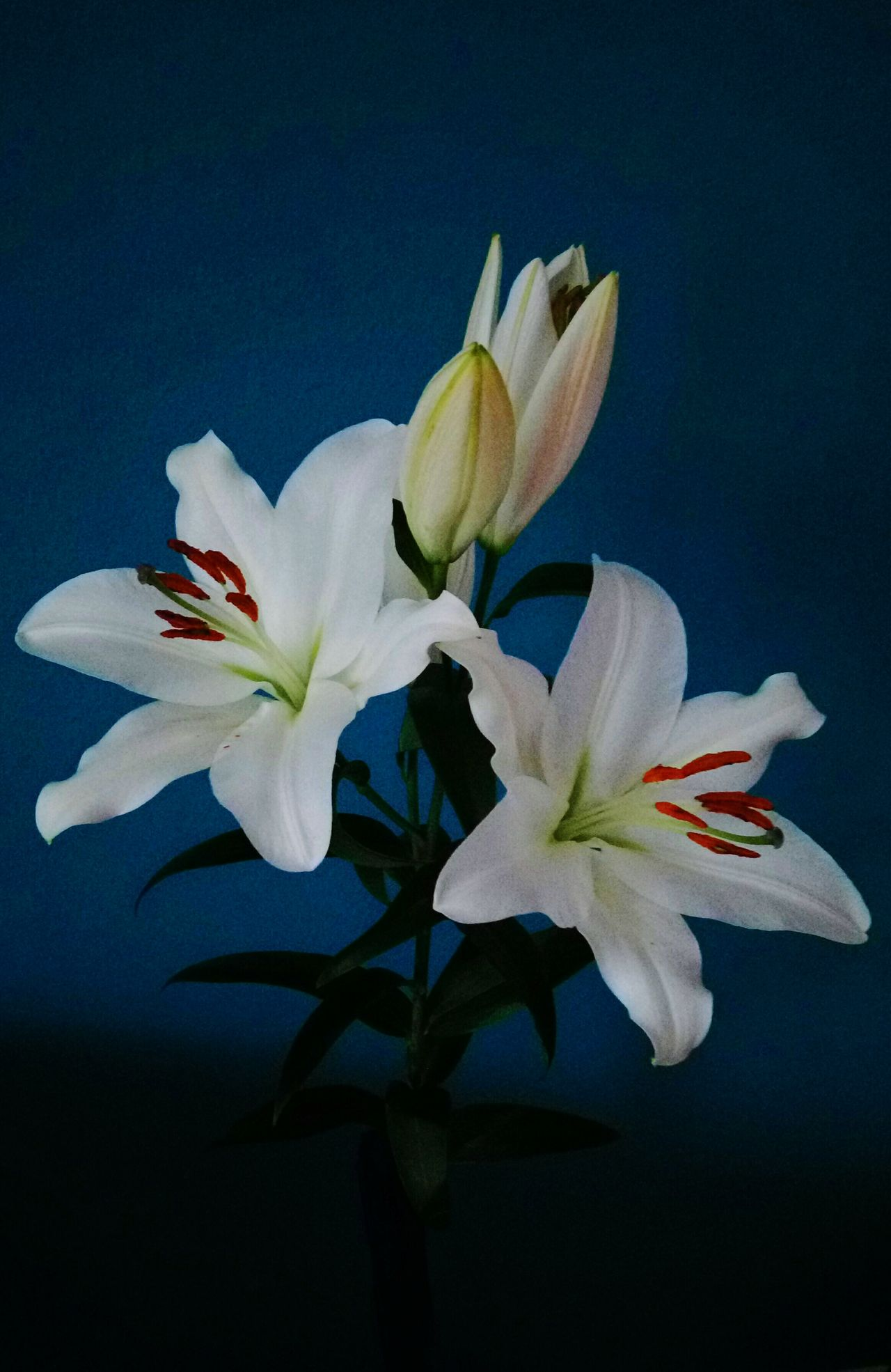 Flower Petal Flower Head Fragility Beauty In Nature Plant Nature No People Close-up Freshness Iris - Plant Day Lily Flower Blue Color Blue Background Lily Style Fleur De Lis Flowers, Nature And Beauty Flowers_collection Lilies White Flower Urban Lifestyle Beauty In Ordinary Things Branch