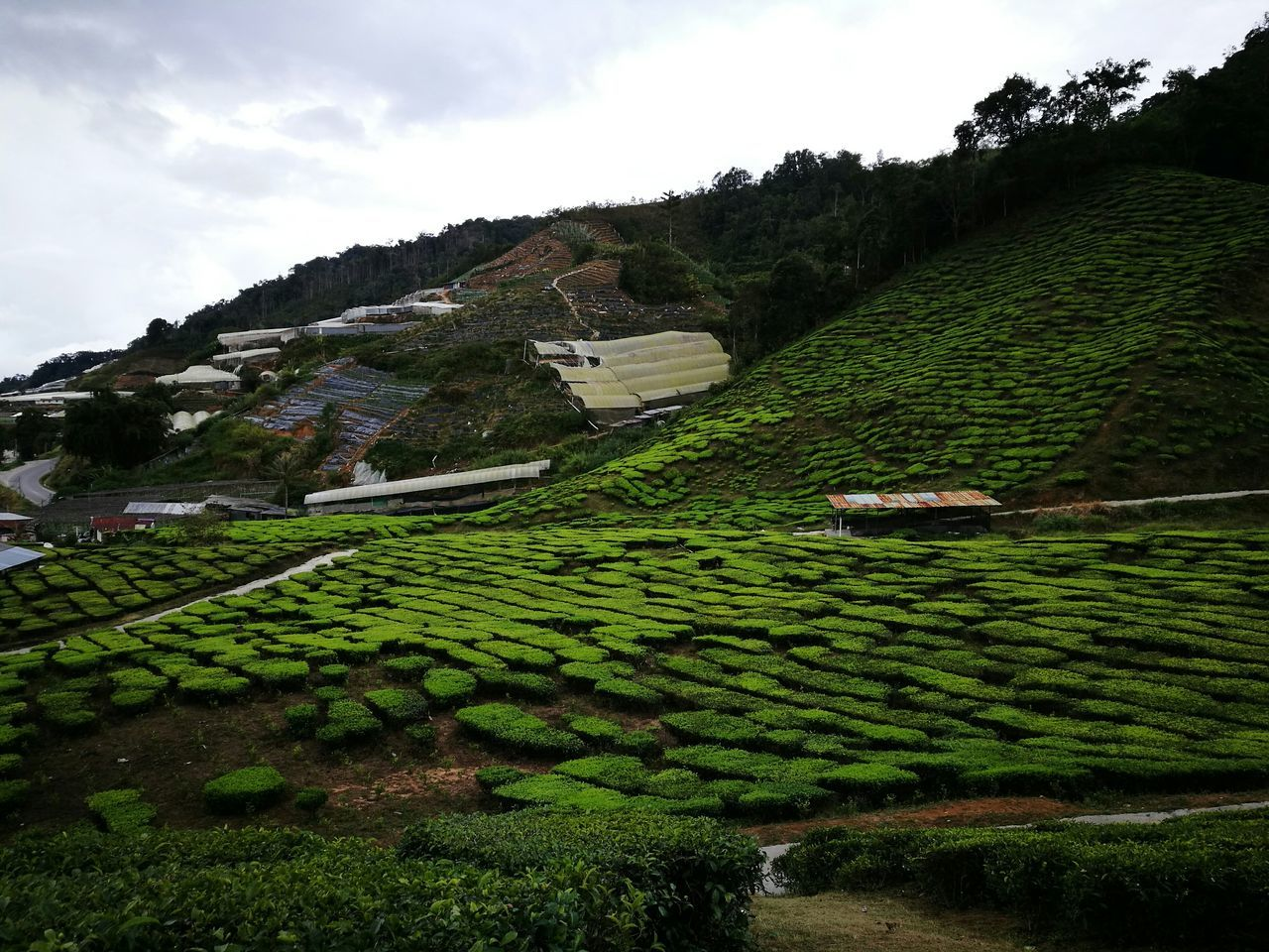 Maximum Closeness Green Color Tea Plant