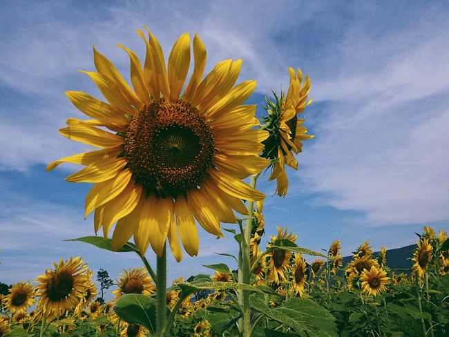 Flower Sunflower Growth Sky Fragility Petal Plant Flower Head Cloud - Sky Yellow Nature Field Beauty In Nature Freshness Outdoors No People Day Rural Scene Blooming Pollen