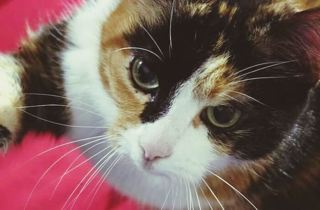 Kitty Cat Cat♡ Cat Lovers Catoftheday Cats Of EyeEm Cat Eyes Cats 🐱 Catslover Cats Cateyes Turtlecat Sweet Sweety  Adorable Adorable Cat