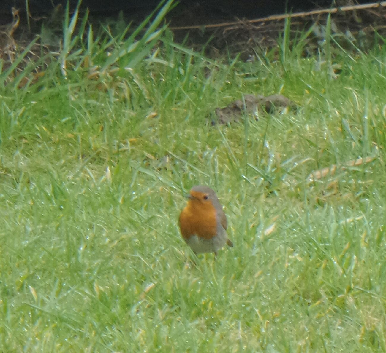 Roodborstje Robin Animal Themes Grass One Animal Nature Field Growth Green Color Mammal No People Outdoors Animals In The Wild Day Nature Photography Kzoom Red Focus On Foreground Bird