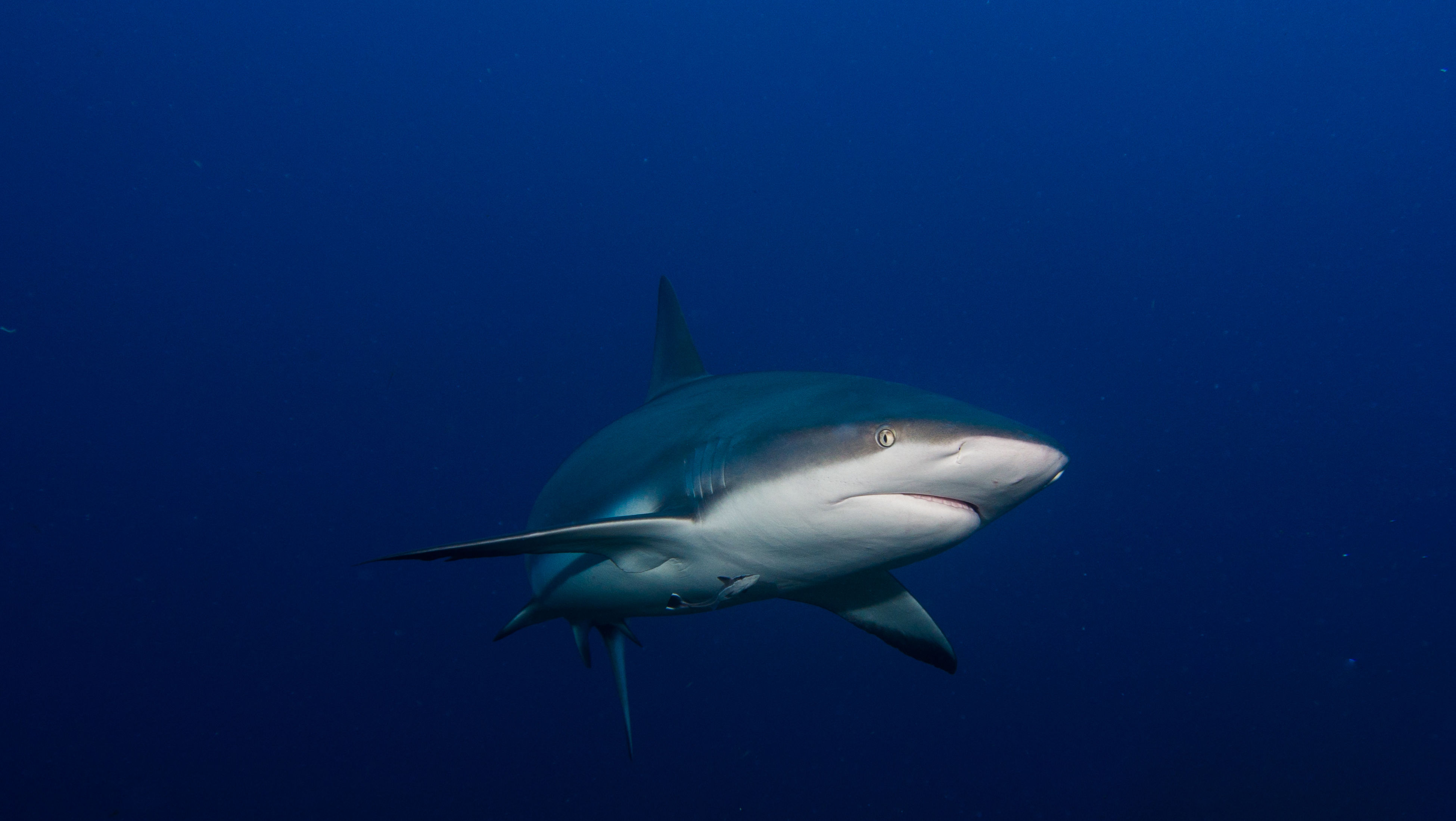 Low Angle View Of Grey Reef Shark Swimming In Blue Sea