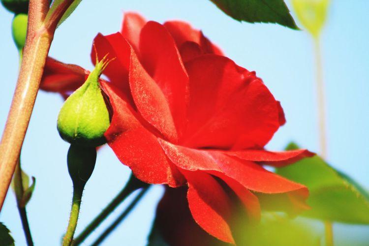 Flower Red RedFlower Rose🌹 Rose Button Green