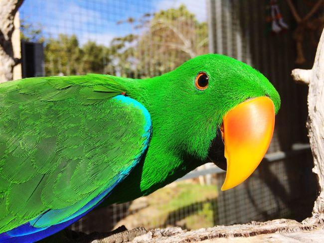 Jellybean_the_Eclectus Bird Photography Birds Eclectus Male Eclectus Green Green Green!  Bright_and_bold