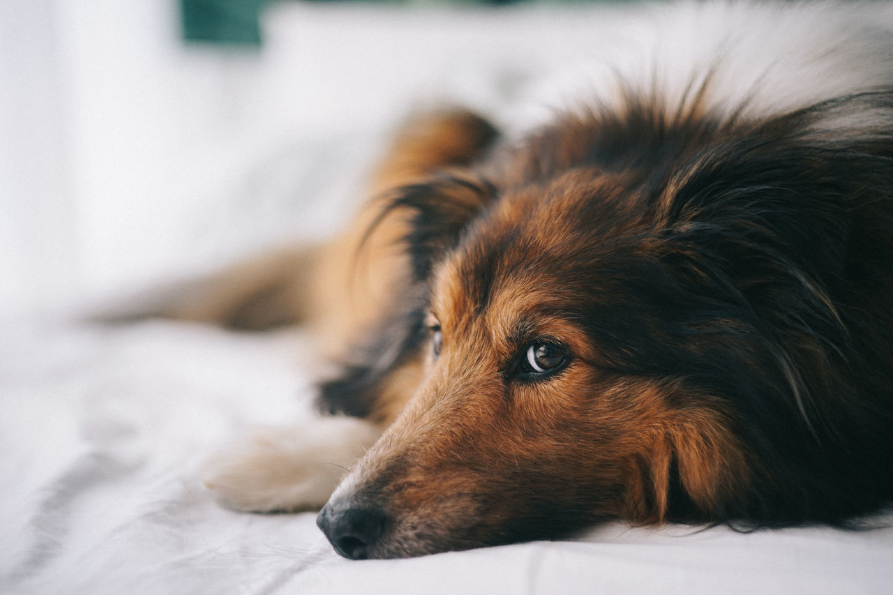 Animal Themes Bed Close-up Day Dog Domestic Animals Indoors  Lying Down Mammal No People One Animal Pets Sheepdog Sheltie
