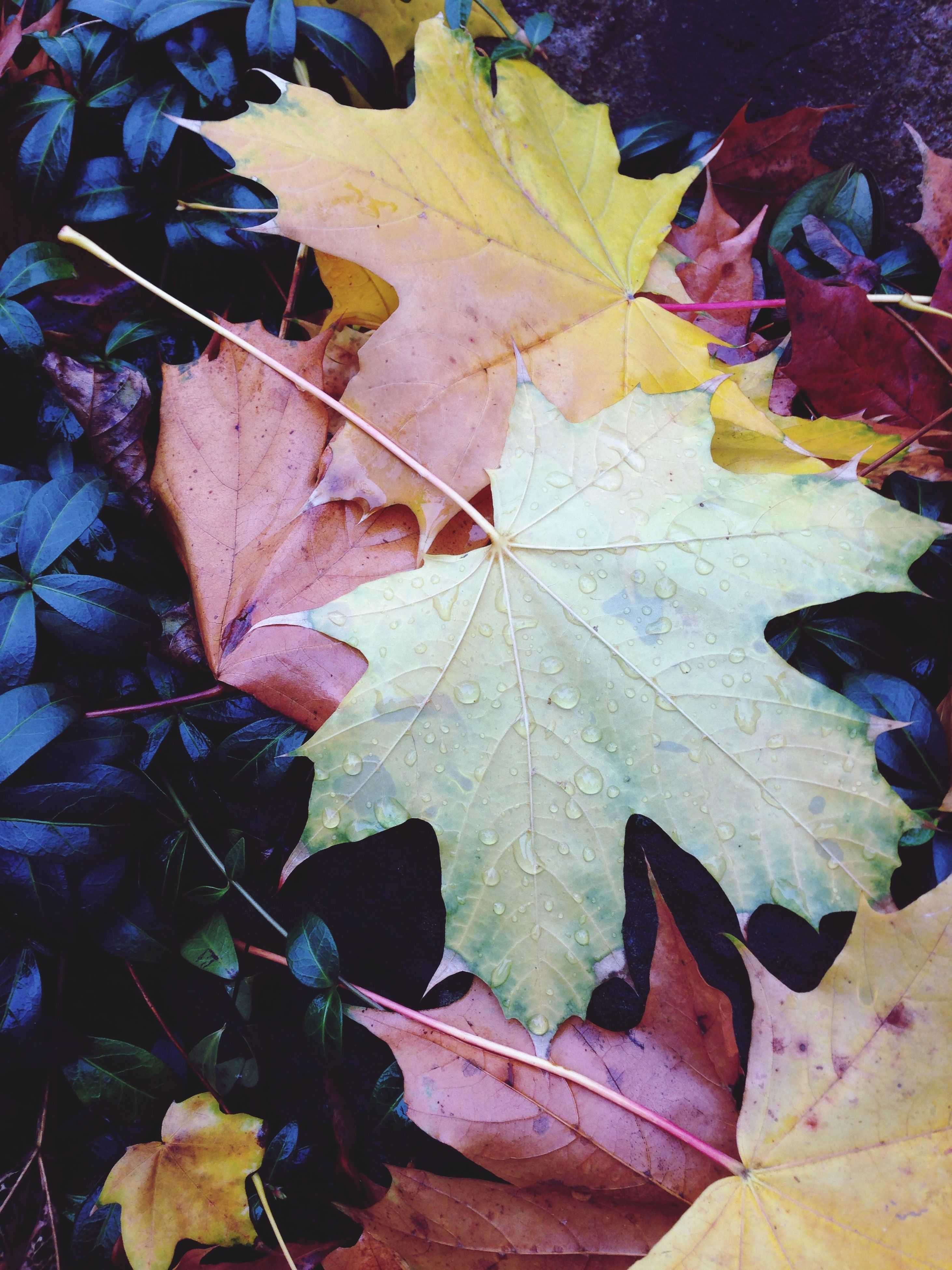 leaf, autumn, leaf vein, change, leaves, season, dry, close-up, natural pattern, high angle view, maple leaf, nature, fallen, wet, day, no people, outdoors, fragility, water, green color