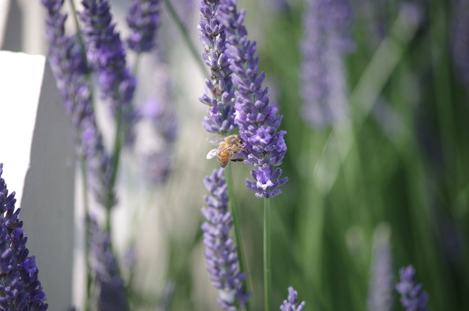 heads down sipping Freind Of The World Hardworking Bee Working In My Garden Nature On Your Doorstep Nature Lavender Flowers Hony Bee Macro Photography White Picket Fence
