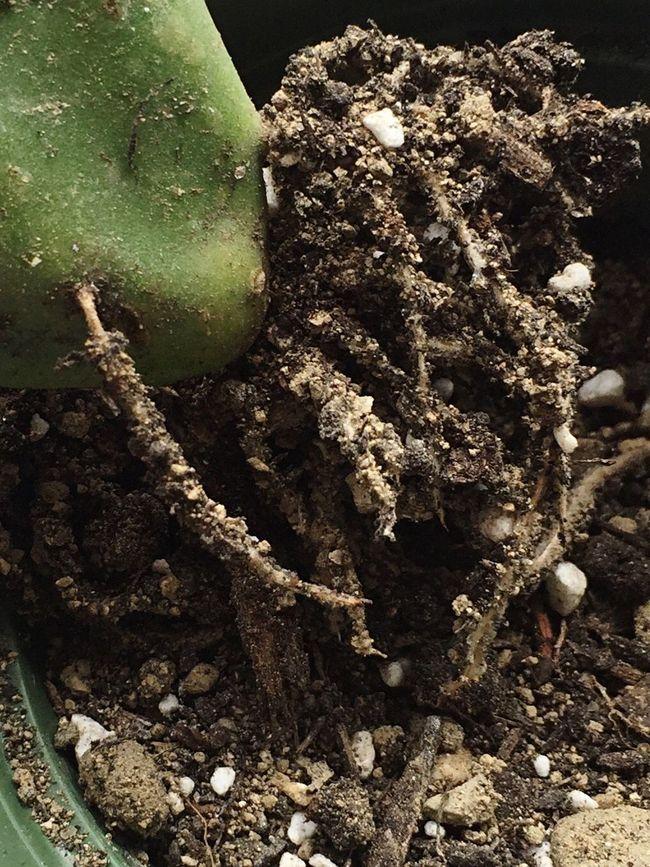Raíces Cactus