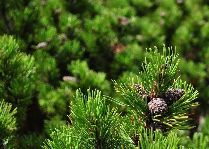 Botany Mountain Range Nature Pine Tree Pinus Mugo Retyezát